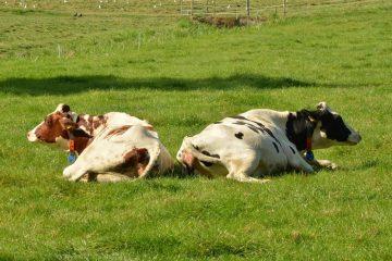 wrevel tussen koeien